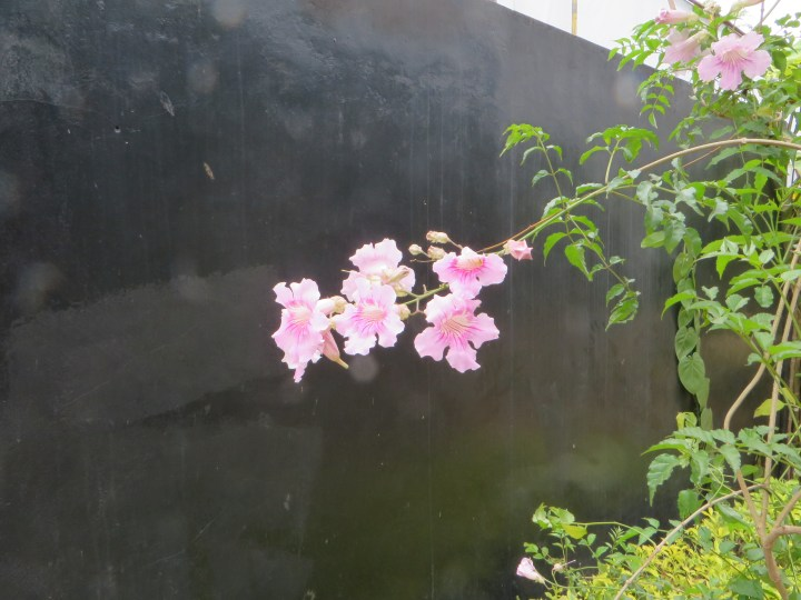 ピンクノウゼンカズラの花の様子
