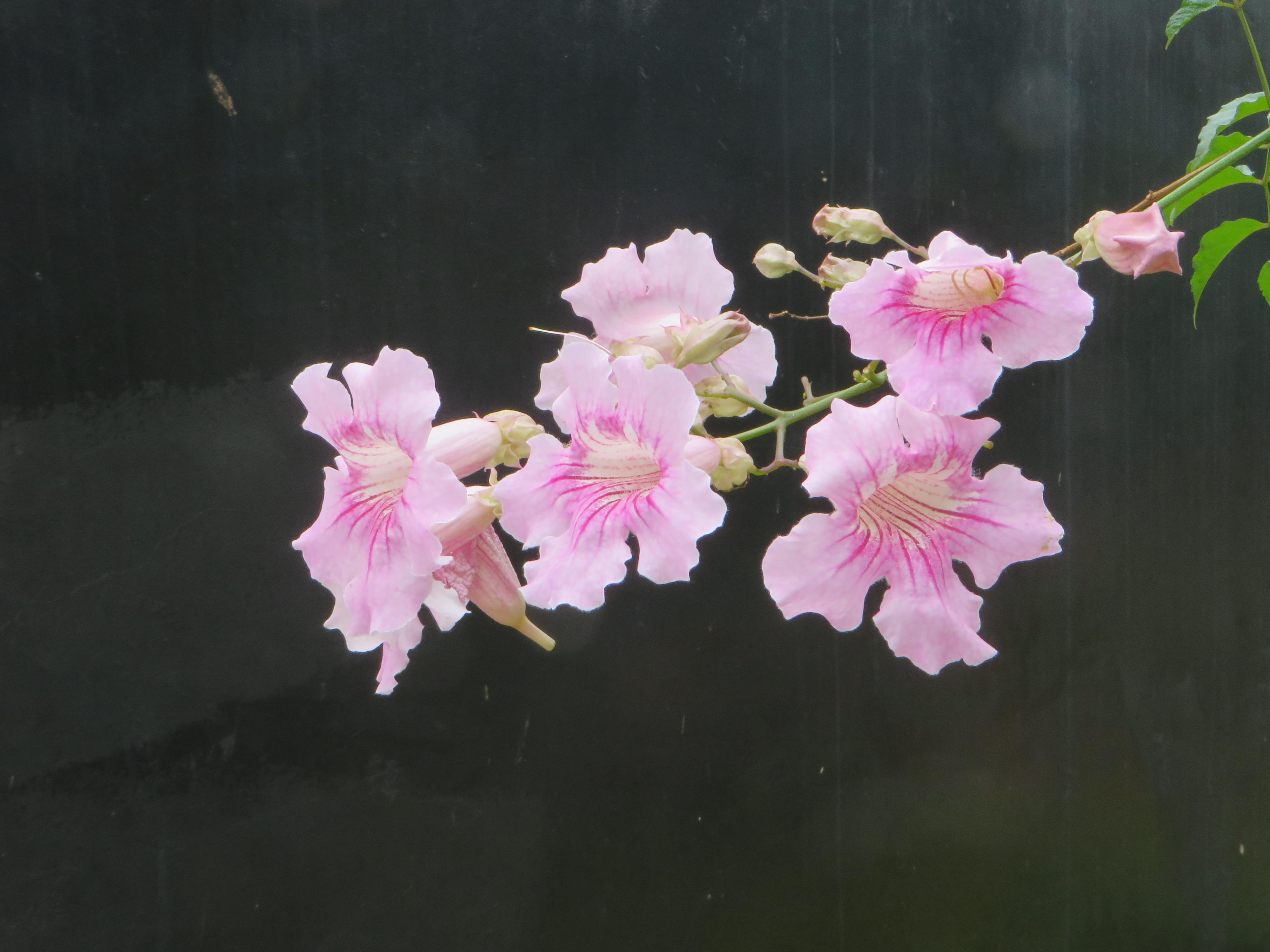 Pink Trumpet Vine/ ピンクノウゼンカズラ