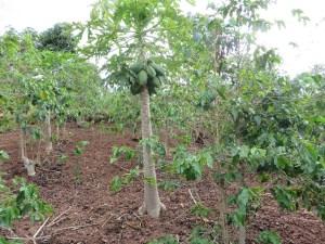 コーヒー畑の中のパパイヤ