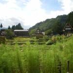 稲刈りの五箇山 合掌集落とコスモス