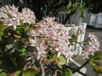フチベミベンケイ (カネノナルキ)の花のアップ