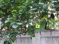 オオハマボウの花?