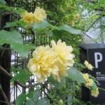 モッコウバラの花 アップ