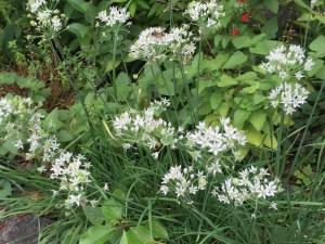 ニラの花の様子