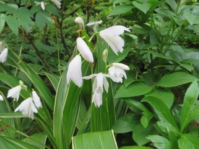 白い花のシラン