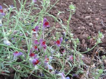 赤紫色のリナリア 花のアップ