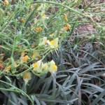 薄黄色のリナリア
