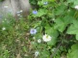 クロタネソウの咲いている様子