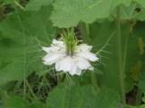 クロタネソウの白花 アップ