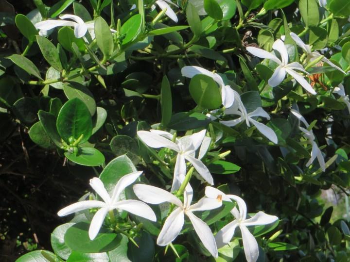 Carissa carandas カリッサ・カランダスの花