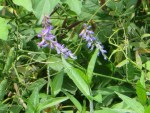 Tufted vetch/ クサフジ