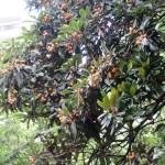 たわわに枝になっているビワ