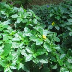 Whole picture of Yellow alder