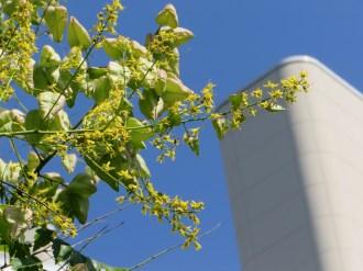 モクゲンジの花と実