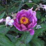 ヒャクニチソウの花のアップ