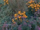 群れて咲くオオハンゴンソウ