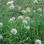 アリウム mouse garlic マウスガーリックの花