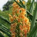 Ginger lily/ ハナシュクシャ