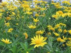 ユリオプス・デージーの花