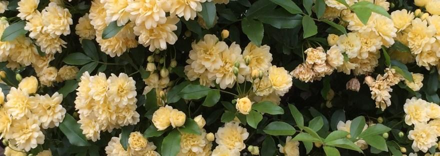 Lady Banks' rose/ モッコウバラ