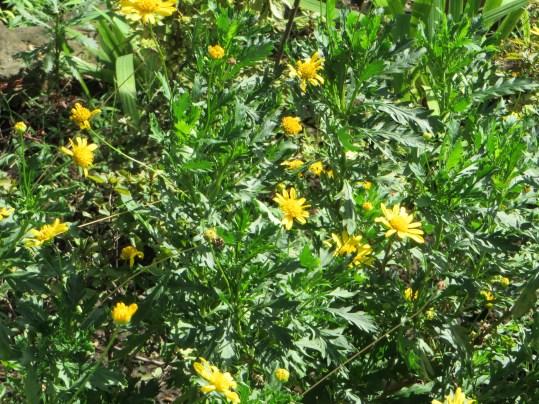 マーガレットコスモスの花と草の様子