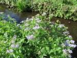 Blue mistflower/ ユーパトリウム・コエレスティナム