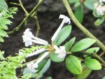 Rhododendron jasminiflorum/ロードデンドロン・ヤスミニフロルム