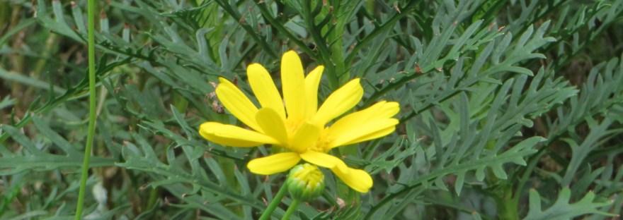 African bush daisy/マーガレットコスモス
