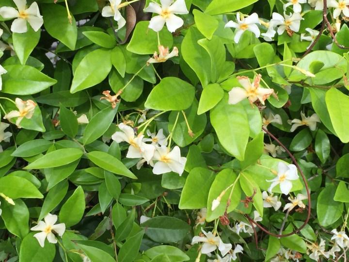 テイカカズラの花と葉の様子