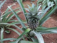 Pineapple/ パインアップル