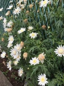 白色 花の中心も白いマーガレット