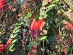 Lipstick Plant/ エスキナンサス