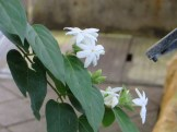 Flowers of Star jasmine スタージャスミン