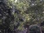Goldenrain tree/ モクゲンジ