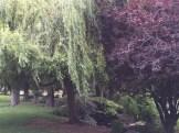 ヨーロッパブナと柳の木 パリにて