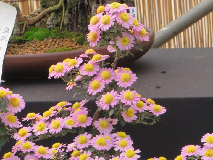 菊 盆栽作り