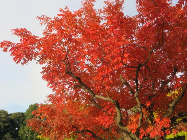 Japanese wax tree/ ハゼノキ
