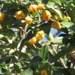 Euonymus chibae/ ヒゼンマユミ