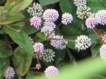 ヒメツルソバの花 アップ