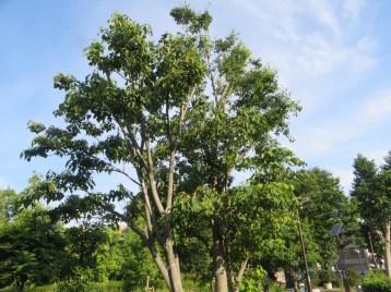 アカメガシワの木の様子