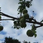 リンゴの幼果