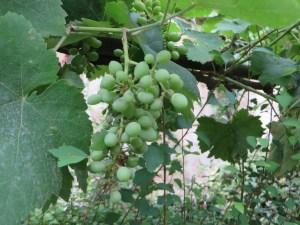 緑色のブドウの実