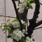 ヒメリンゴの花 咲き始め