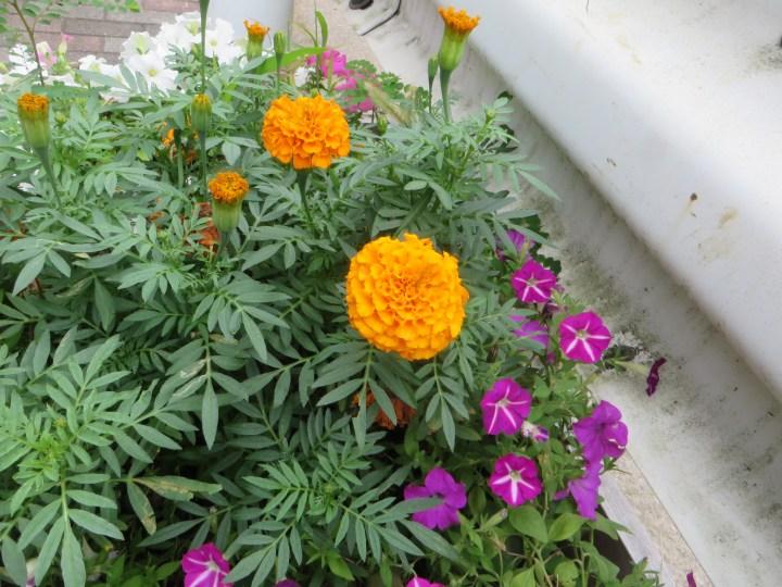 花壇のマリゴールド