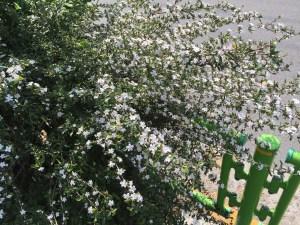 枝いっぱいに咲いているハクチョウゲ
