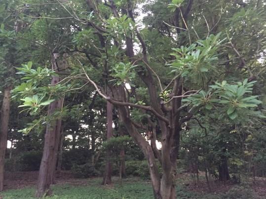 ユズリハの木の全景