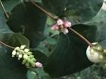 Common snowberry/ セッコウボク