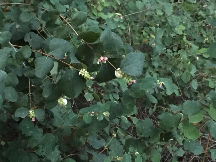セッコウボクの花と木の様子