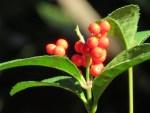 Chloranthus /センリョウ