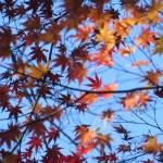 紅葉したイロハモミジの葉